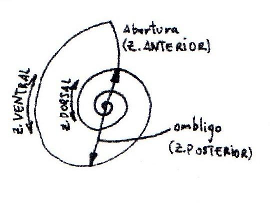Subclase AMMONOIDEA (3/6)